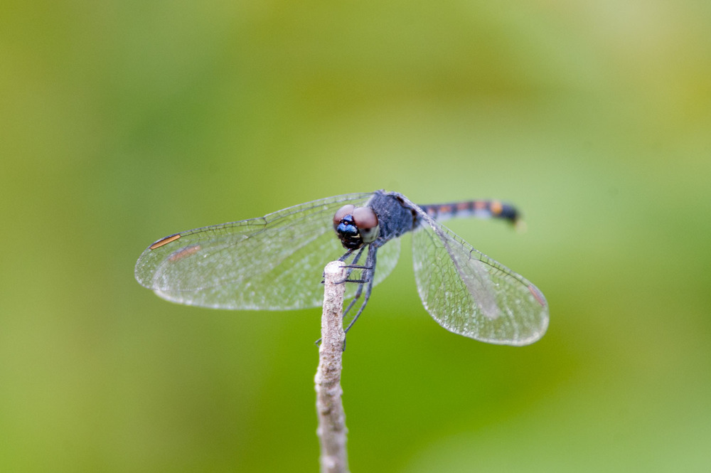 A large dragonfly perched on a small twig.