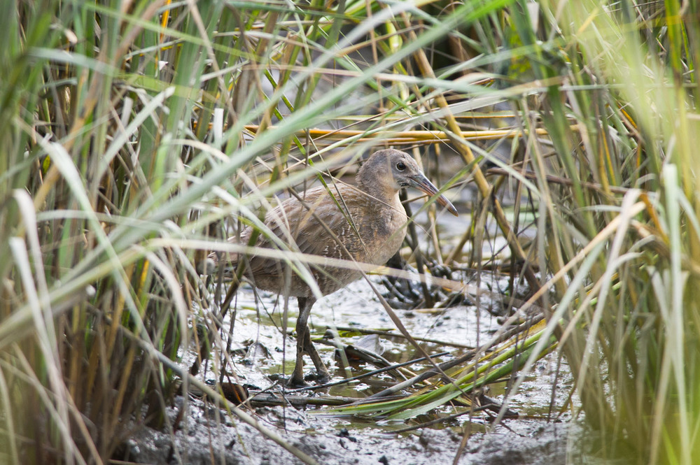 I first heard this elusive but loud Clapper Rail as we walked by it and I was able to find it hidden in the tall marsh grass.