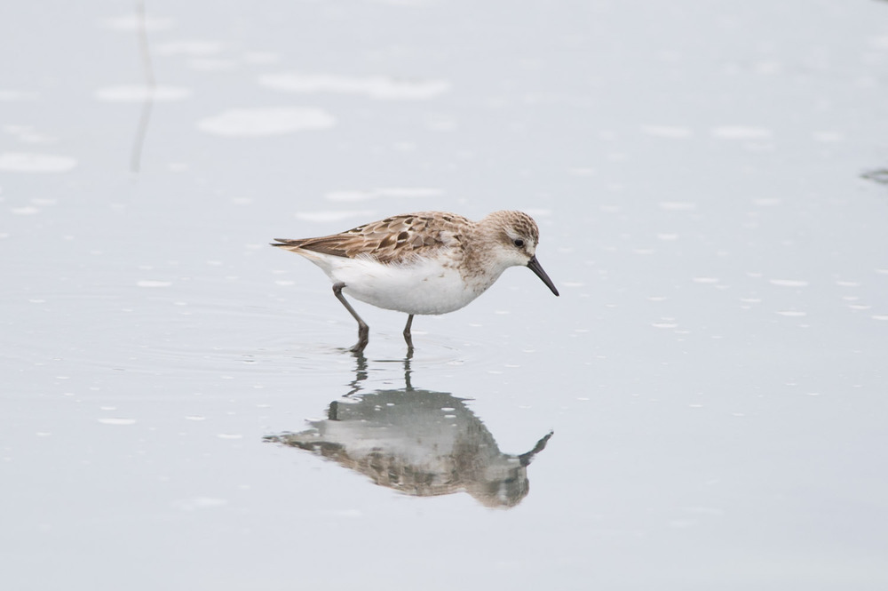 A  tiny Semi-palmated Sandpiper at the refuge.