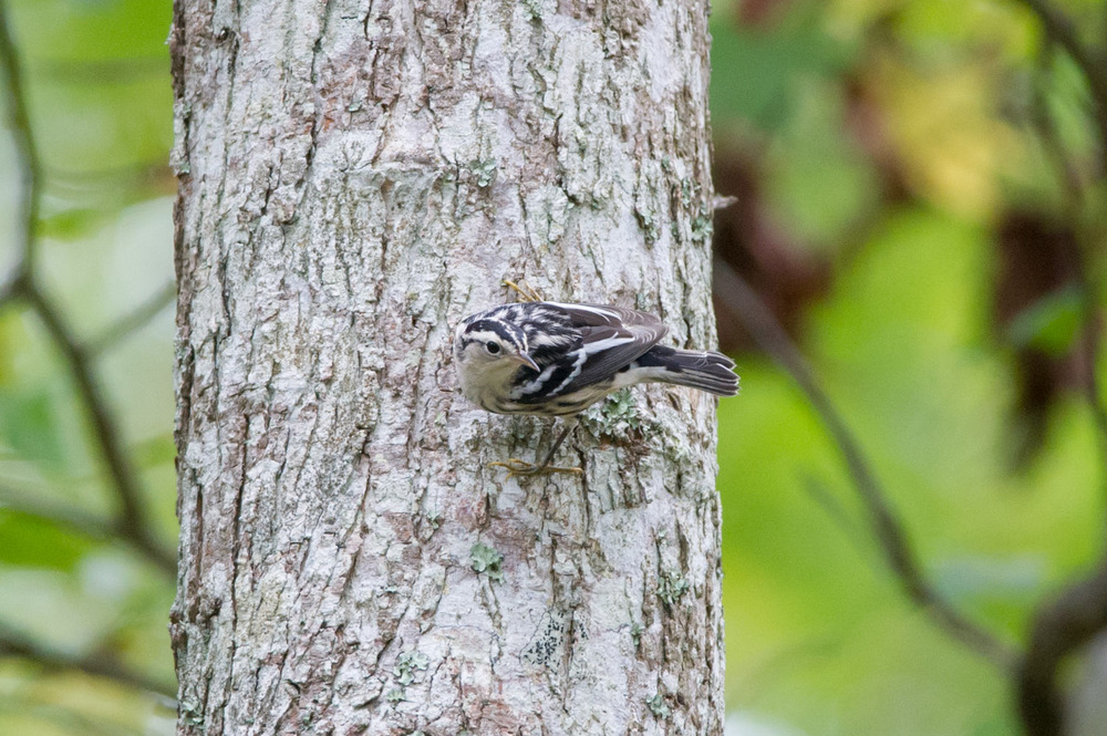 A beautiful Black and White Warbler looks out while hanging onto a tree.