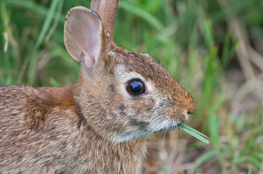 A  rabbit who looks like it's smoking some grass at Chincoteague NWR.