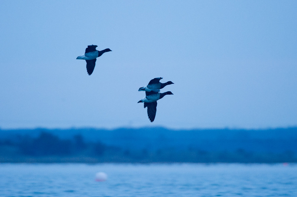 A trio of Brant fly into the harbor.