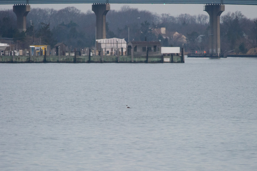 My first sighting of the Western Grebe far out in the water.  If you squint you can kind of see it.