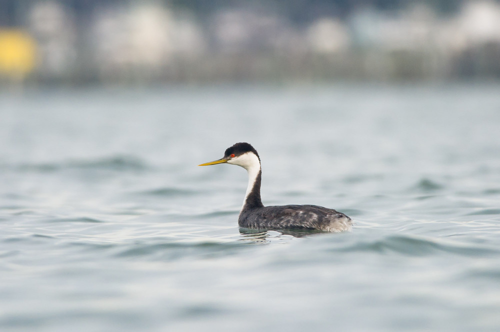 You can really see the brilliant red eye of this Western Grebe once it came in closer to me.