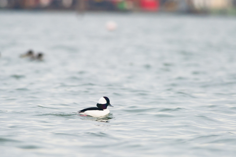A male Bufflehead cruises by the shoreline where I am laying.