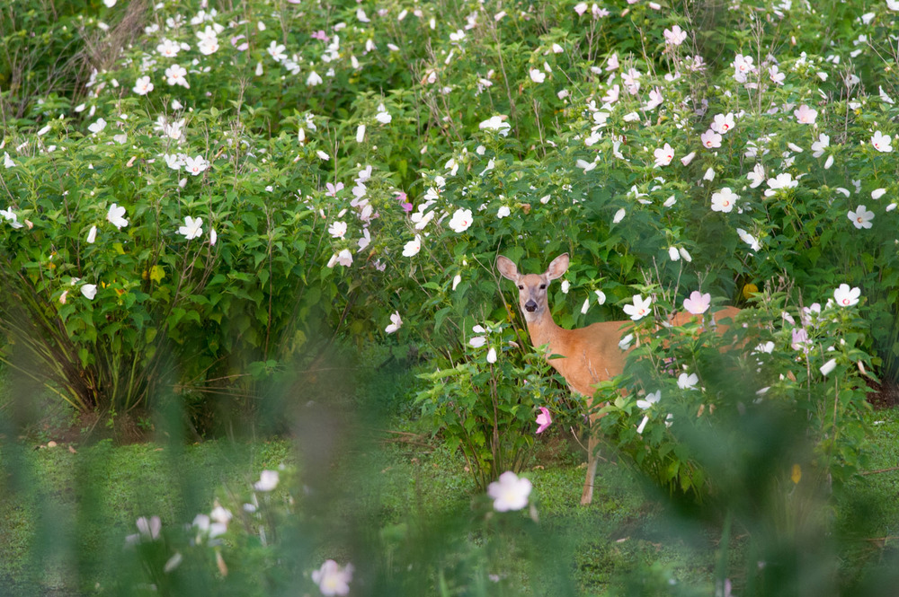 This deer stopped in a field of lovely flowers at John Heinz National Wildlife Refuge.