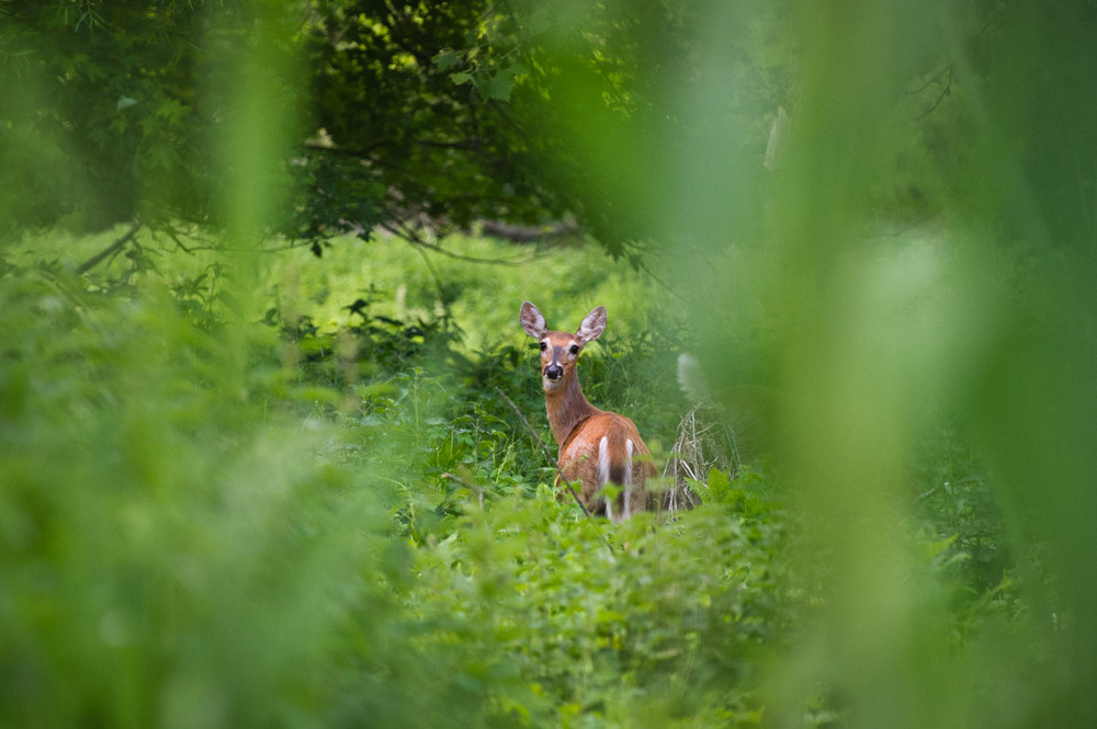 Standing there surrounded by all the green at Palmyra Cove, this deer actually stands out.