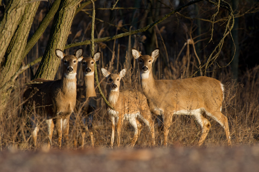 A family of deer look right at me as the sun begins to set at Palmyra Cove Nature Park.