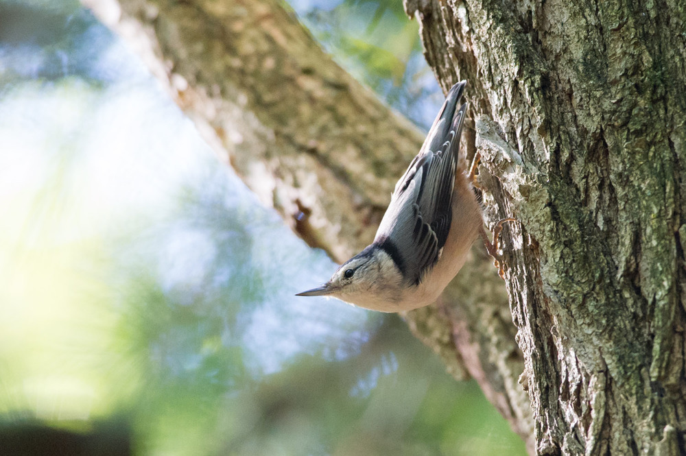 4 - I found this White-Breasted Nuthatch doing a classic pose at Washington Lake Park in mid September.