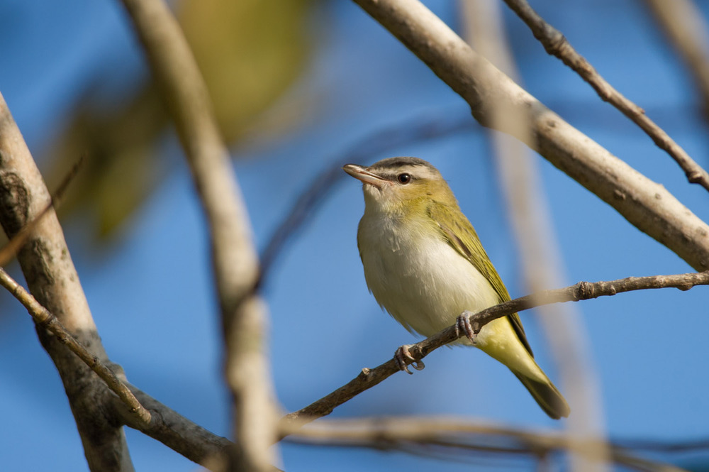 5 - A Red-Eyed Vireo at Palmyra Cove Nature Park towards the end of September.