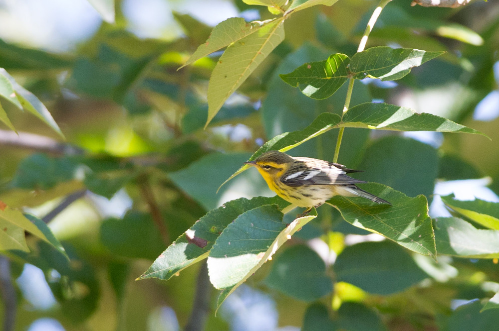 8 - A bright Blackburnian Warbler hops from branch to branch in Cape May in late September.