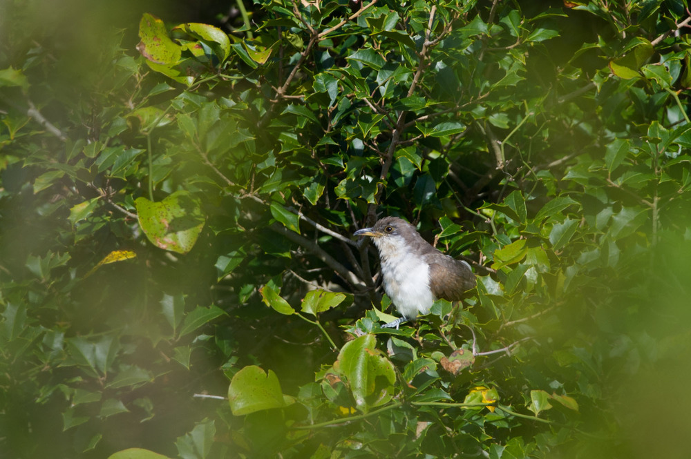 10 - A Yellow-Billed Cuckoo hides in a holly tree at Island Beach State Park in the beginning of October.