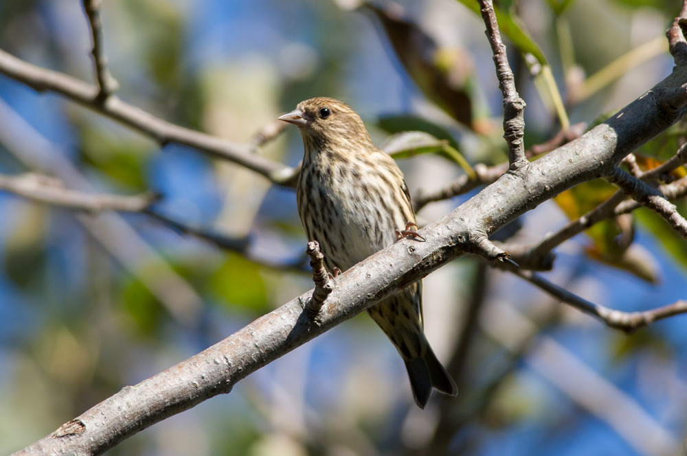 14 - A Pine Siskin in my parent's back yard in Vineland, NJ in mid October.