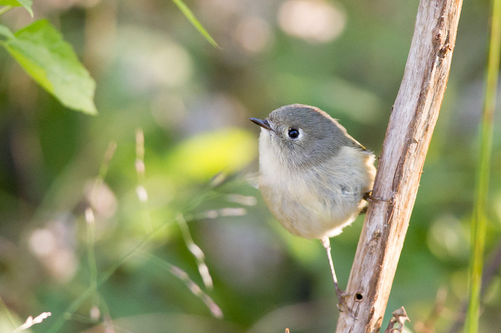 15 - A tiny Ruby-Crowned Kinglet perched on a branch at Timber Creek Park in early November.