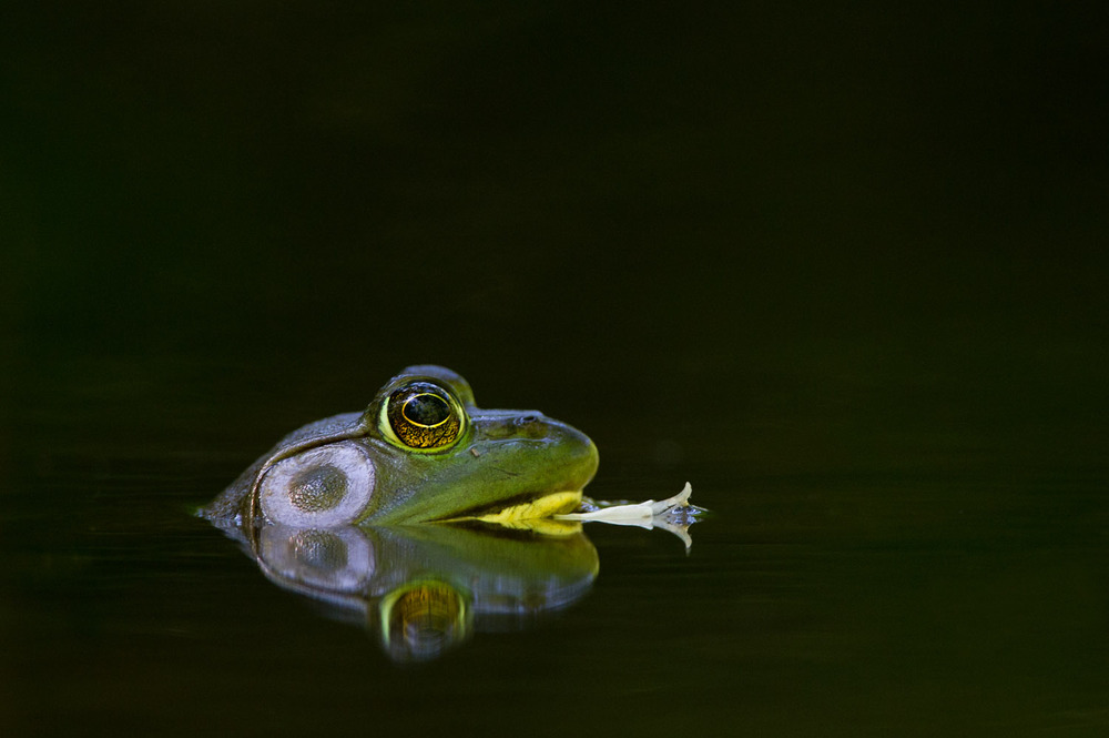 This bullfrog was sitting motionless and a flower petal came to rest right under his nose.