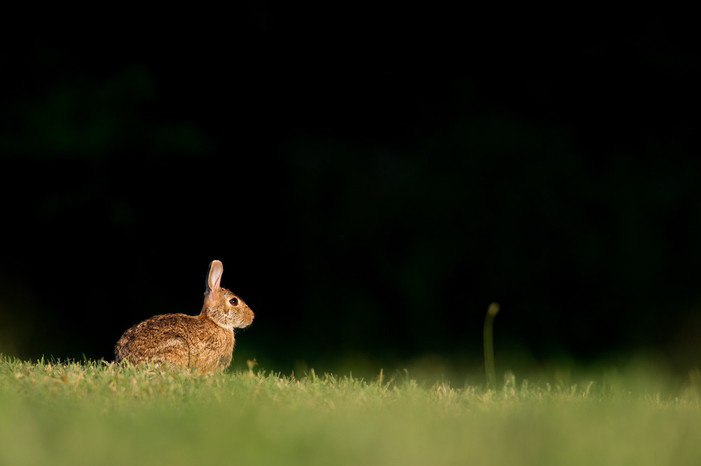 A lone Cottontail Rabbit sitting in a field as the sun begins to shine.