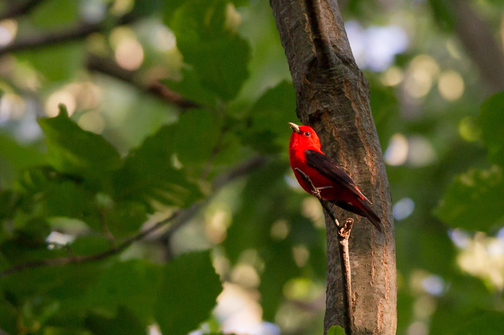A brilliant male Scarlet Tanager stops for a brief moment in the sun.