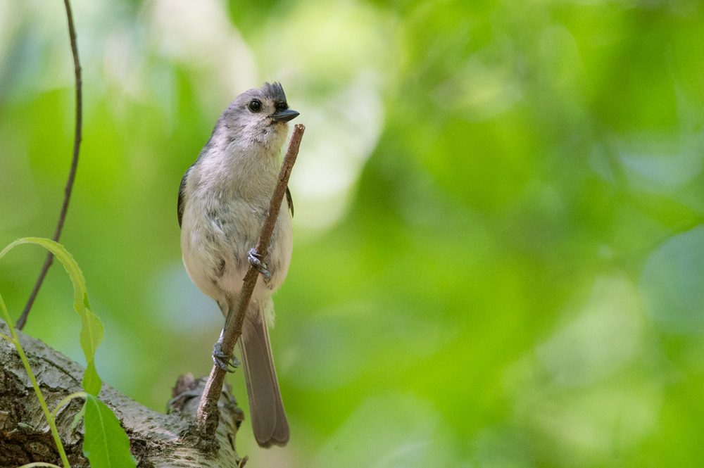 A noisy Tufted Titmouse stops for only a moment to let me get this photo, they are always on the move.