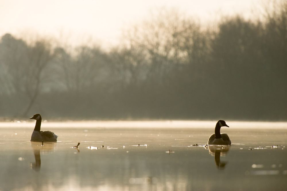 A pair of Canada Geese sitting on Big Timber Creek as the sun rises behind them.