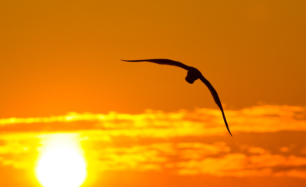 A gull flies into the sunrise at Cape May State Park, NJ.