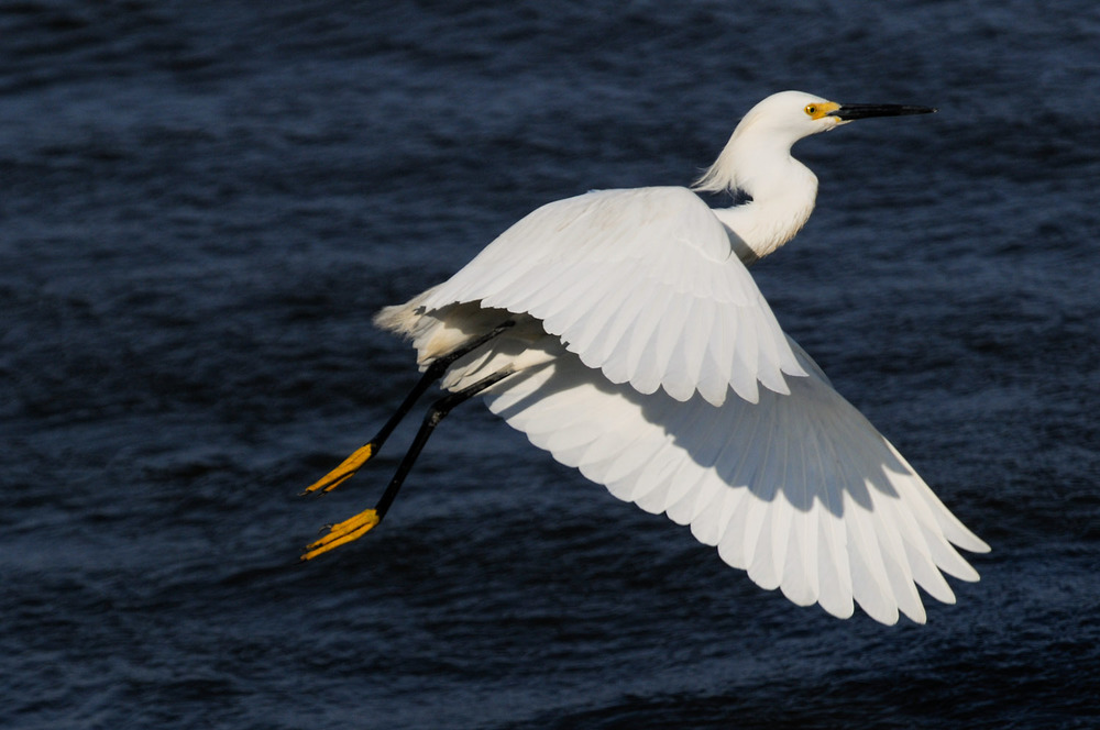 A Snowy Egret taking off at Forsythe National Wildlife Refuge in Brigantine, NJ.