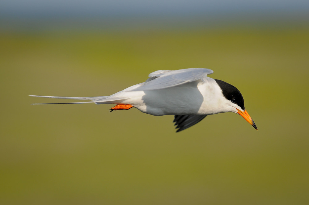A Forsters Tern cruising over the water looking for fish at Forsythe National Wildlife Refuge in Brigantine, NJ  .