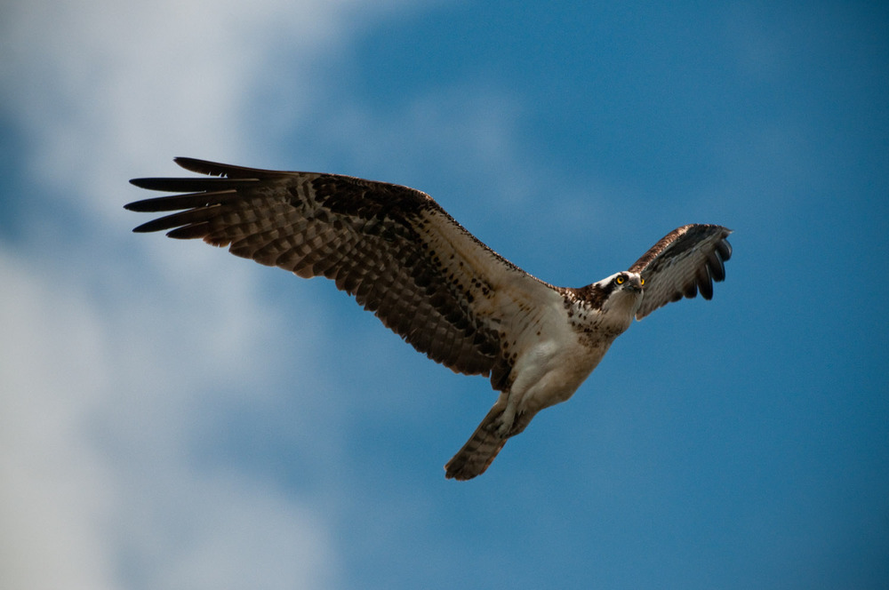 An Osprey flies overhead at JN Ding Darling National Wildlife Refuge in Sanibel, FL  .