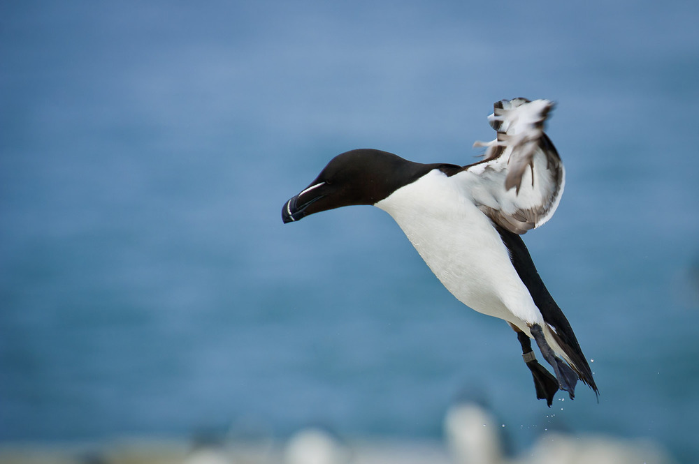 One of the most striking looking birds, this Razorbill is coming in to land on Machias Seal Island off the coast of Maine  .