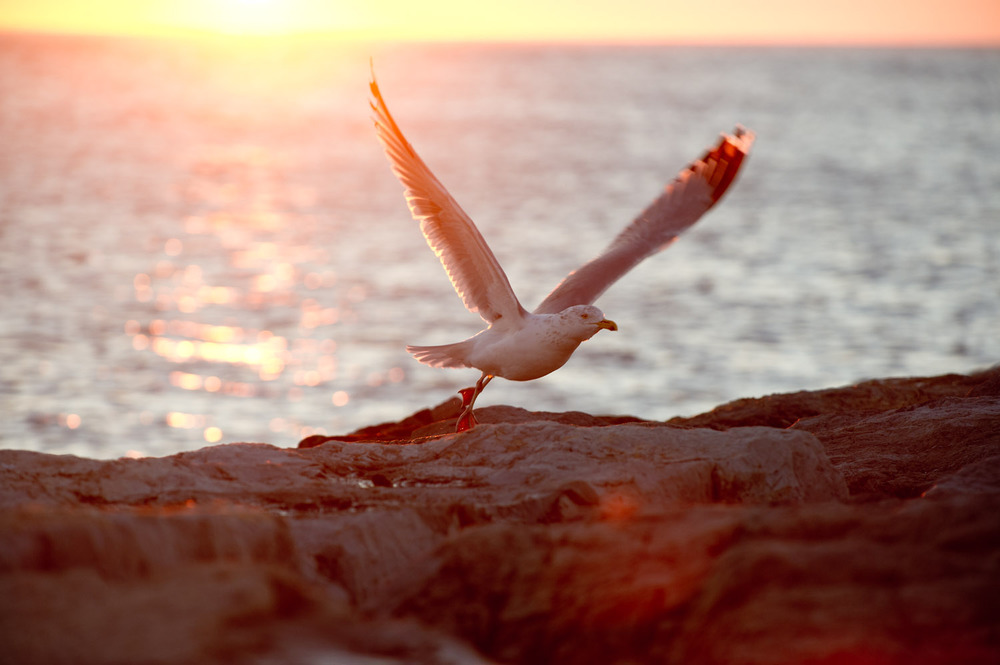 A Herring Gull takes off as the sun rises over the ocean at Barnegat Light, NJ  .