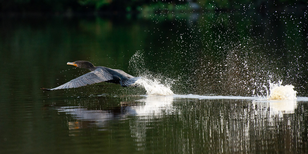 This Double-Crested Cormorant makes quite the commotion as it takes off in the water at Trap Pond State Park in Laurel, DE  .