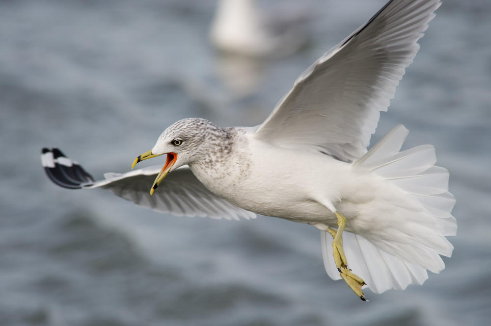 A Ring-Billed Gull was feeding in the waters at Forsythe National Wildlife Refuge in Brigantine, NJ  .