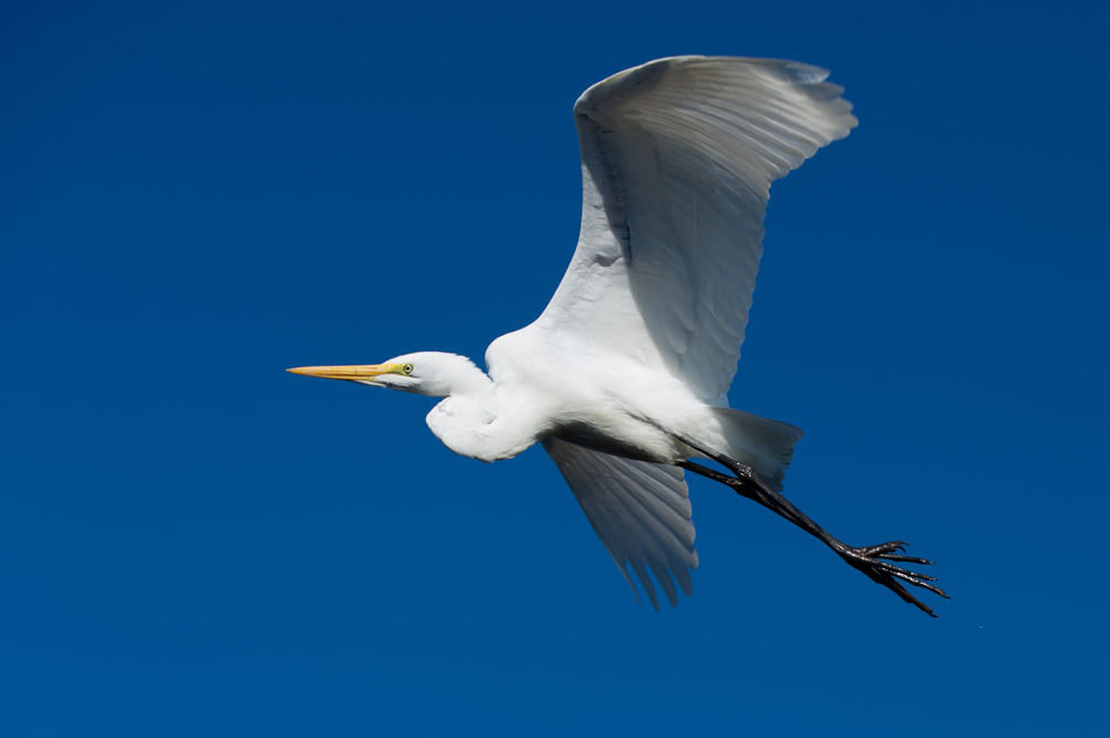 A Great Egret flies overhead at Cape May State Park, NJ.
