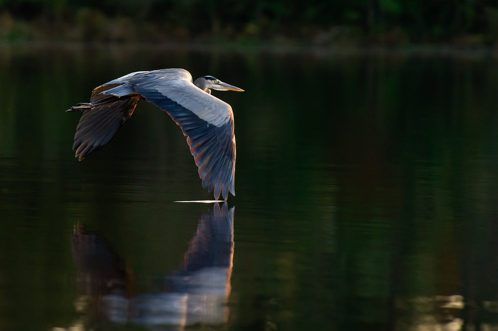 The wing tip gently touches the water as this Great Blue Heron flies away at Trap Pond State Park in Laurel, DE  .