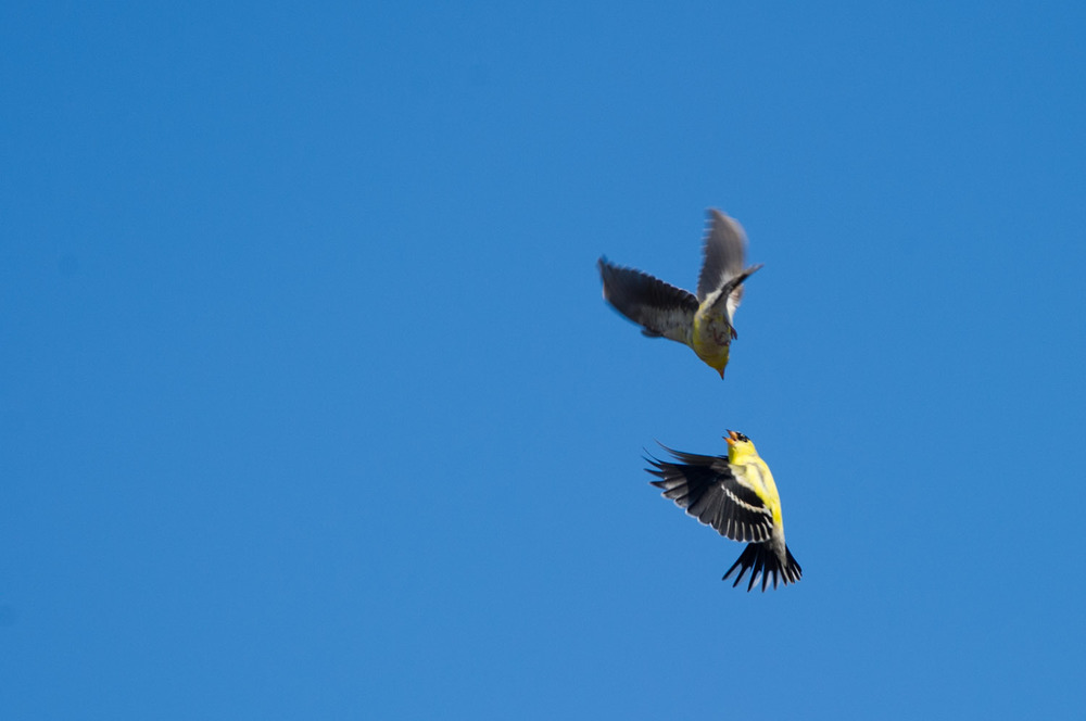 A squabble between two American Goldfinches as they expertly fly around each other at Forsythe National Wildlife Refuge in Brigantine, NJ.