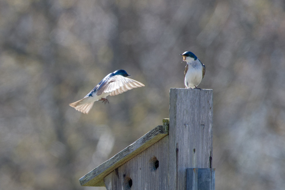 It looks like one of the Tree Swallows is telling the other to back off at Forstyhe National Wildlife Refuge in Brigantine, NJ  .