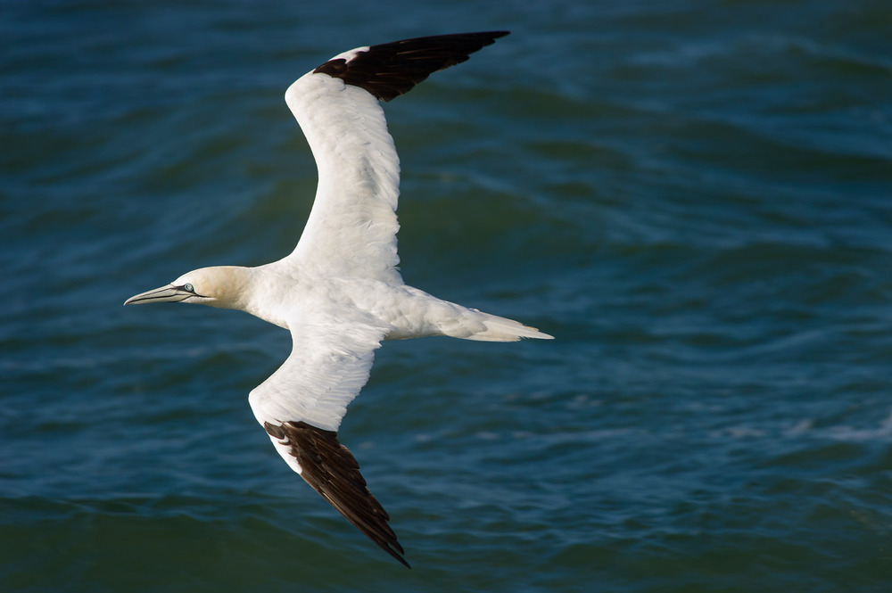 An adult Northern Gannet flies over the Atlantic Ocean miles from the shore of Lewes, DE  .