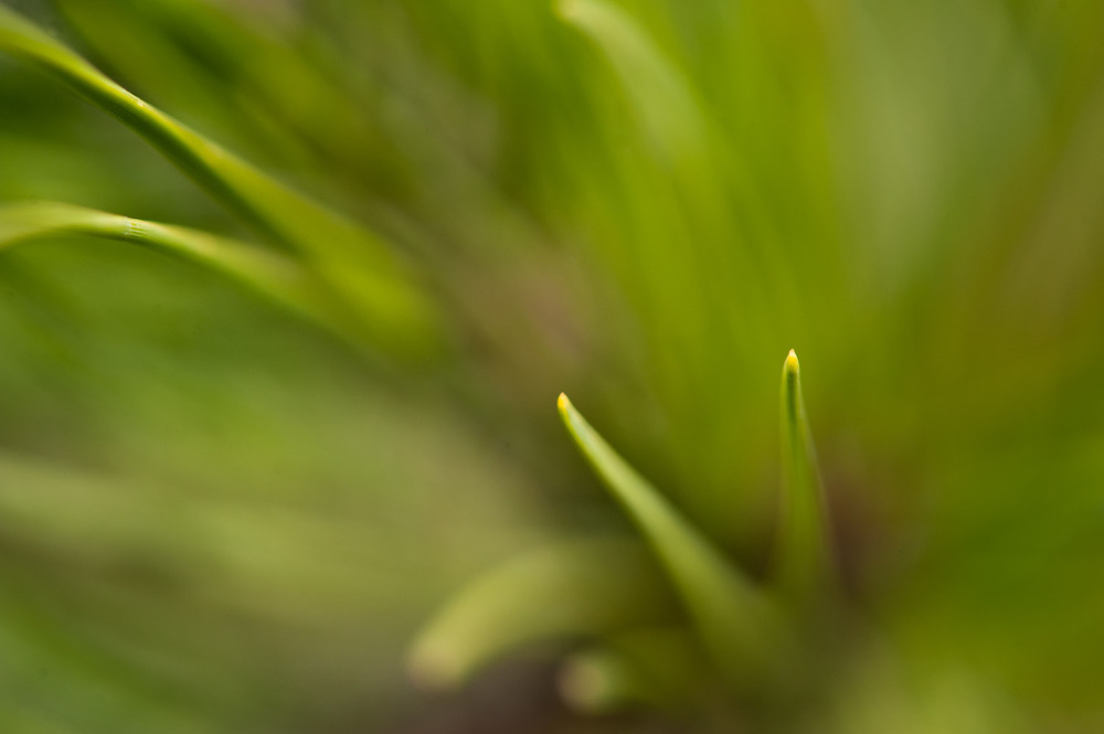 Pine needles reaching out towards the lens  .