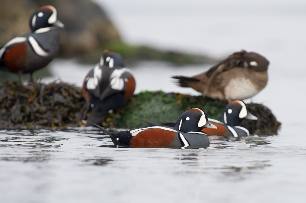 A group of Harlequin ducks just hanging out near the jetty on a calm morning  .