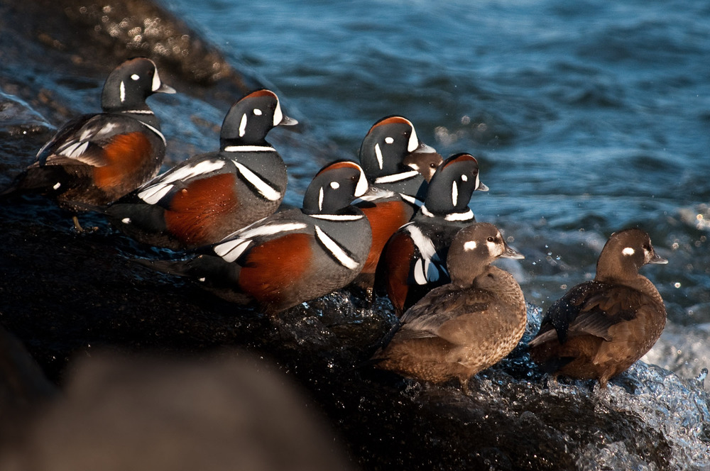 A group of Harlequins trying to stay on the rocks as the waves crash on the rocks  .