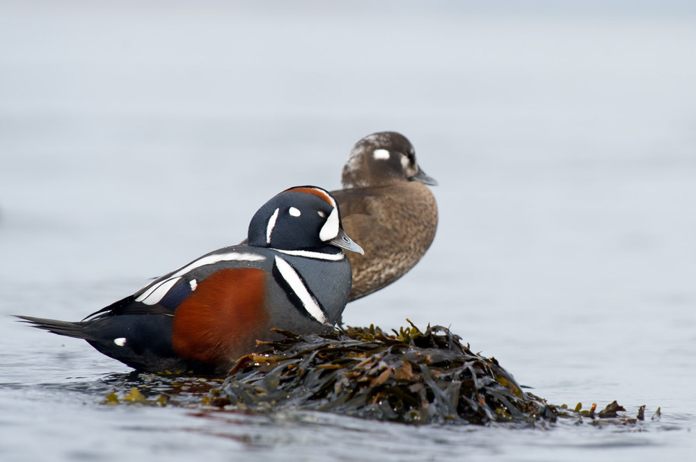 On this calm winter morning, a male and female Harlequin duck take a short rest on a rock  .