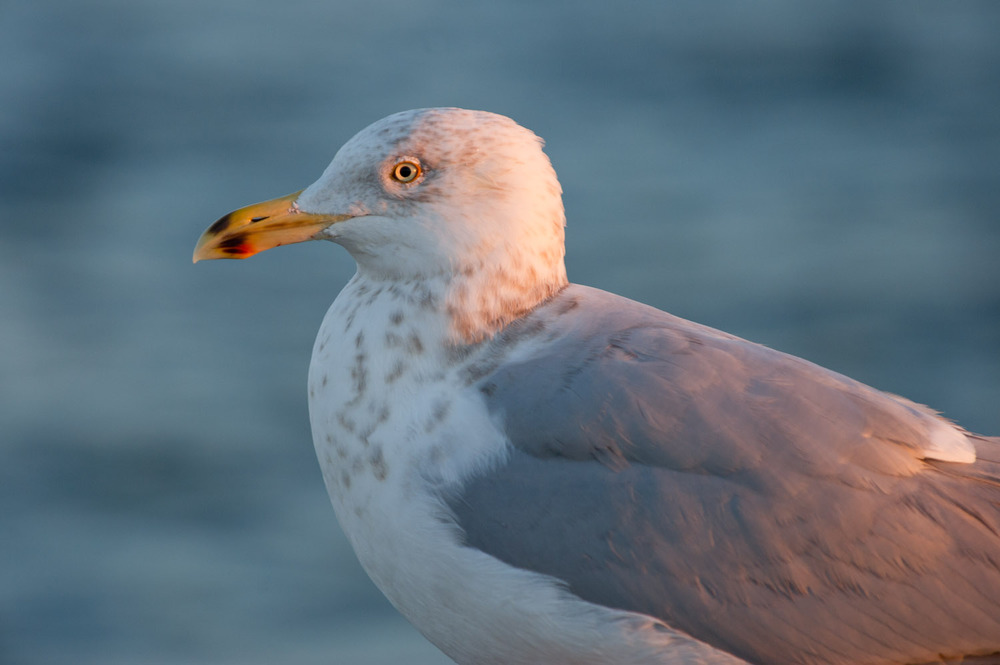 A Herring Gull poses in the early sunlight on Barnegat jetty  .