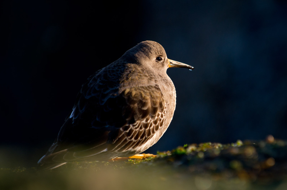 A Purple Sandpiper sits on the jetty in the early morning sunlight.