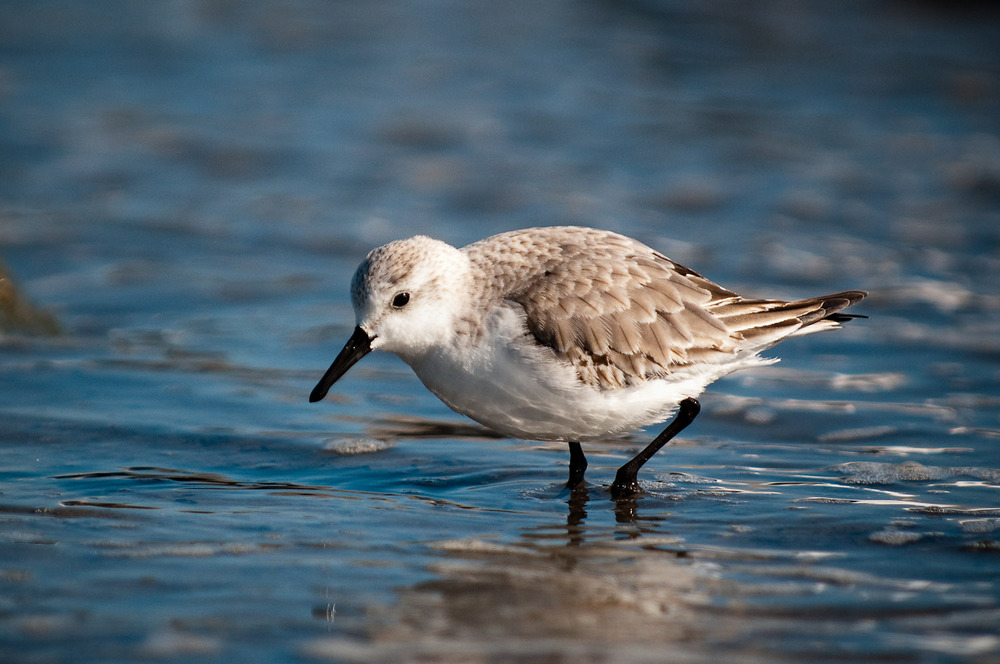 This Sanderling is foraging for food in the water and sand just behind the jetty  .