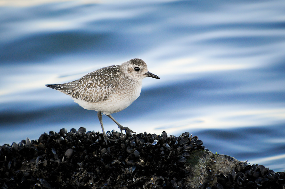 A classy Black-Bellied Plover standing on the mussel covered rock  s.