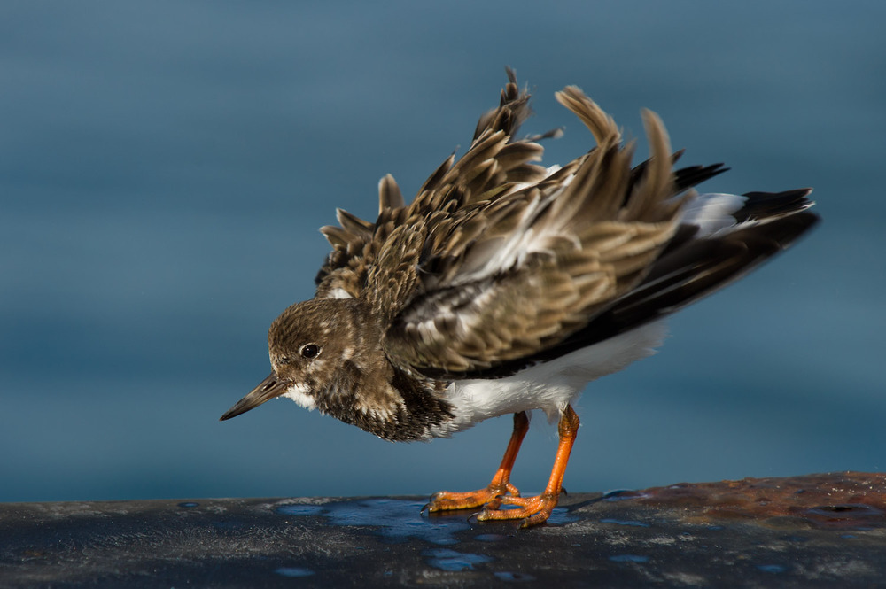 Shaking out its feathers in the wind this Ruddy Turnstone fluffs up and looks much bigger than normal  .