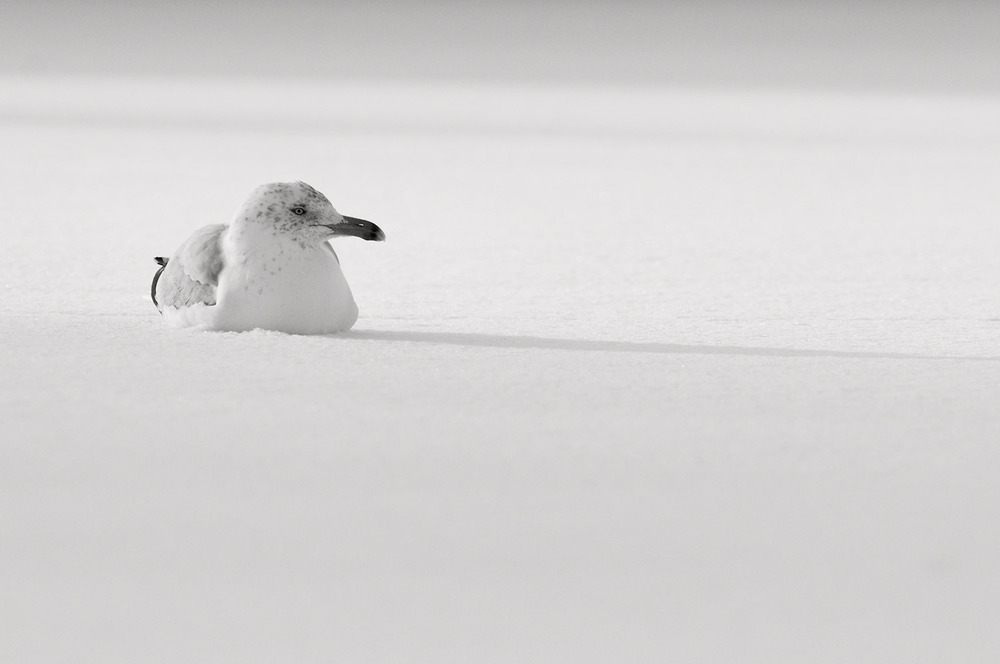 With a light coating of snow on the parking lot this Herring Gull settles in for a while  .