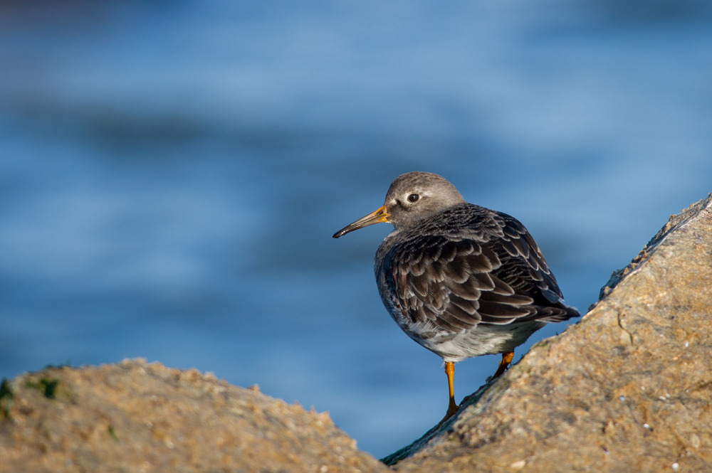 A beautiful Purple Sandpiper on the jetty rocks.