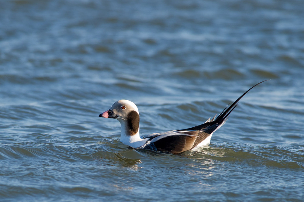 A male Long-Tailed Duck shows off its namesake.
