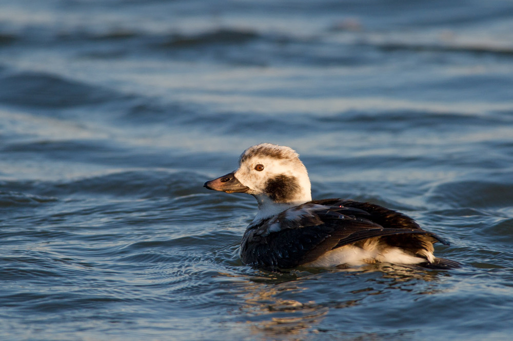 A juvenile Long-Tailed Duck swimming in the early morning sun.