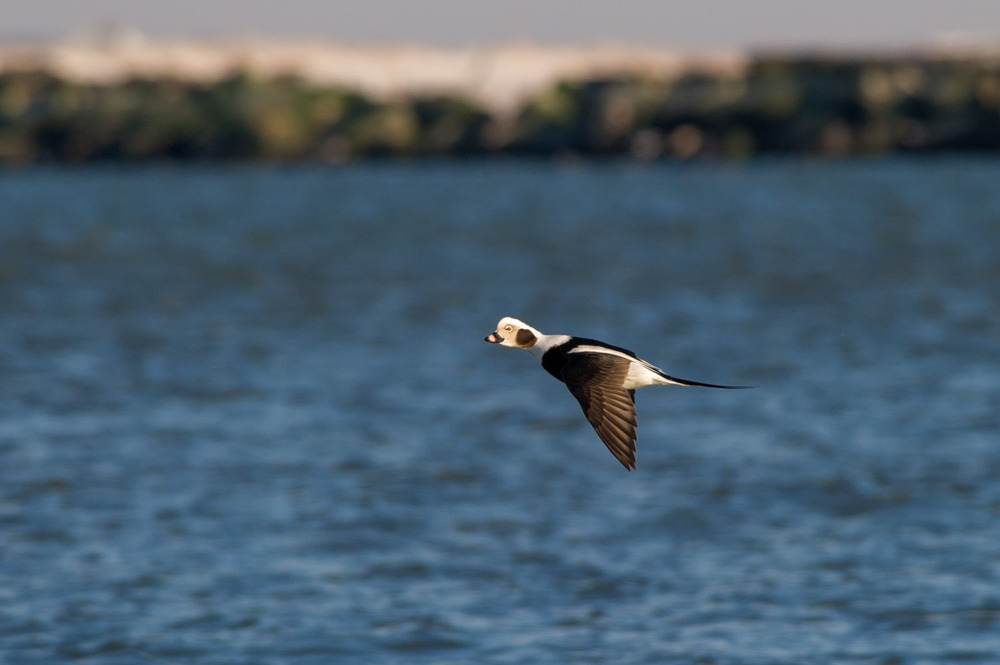 In flight you can really see where the Long-tailed Duck gets its name from  .